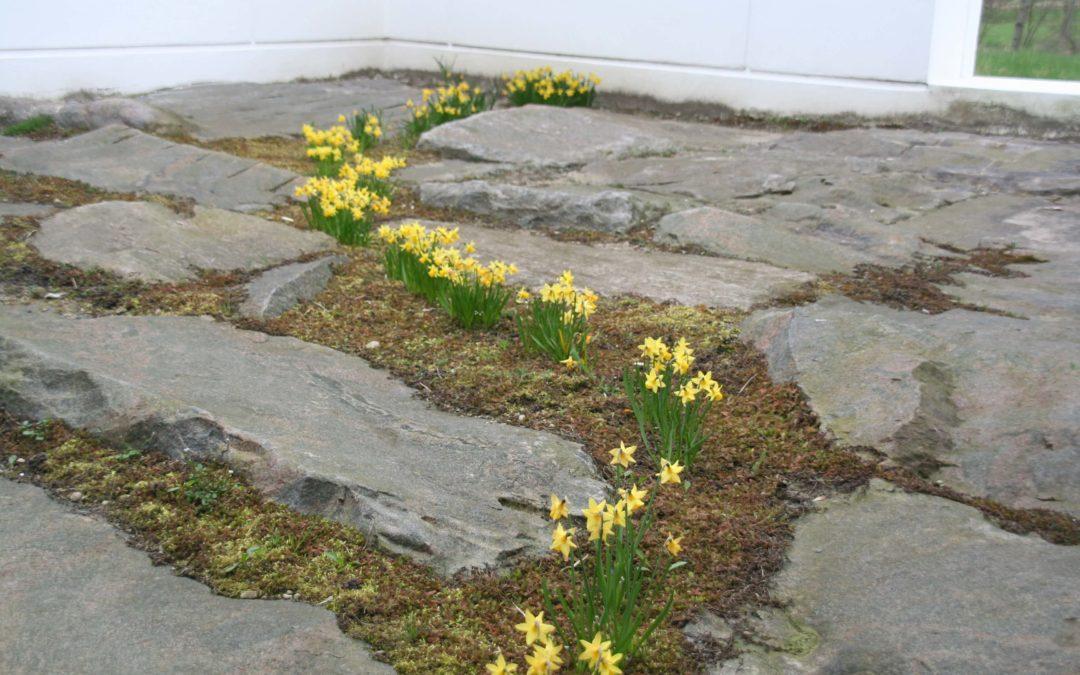 granitsten med påskeliljer imellem